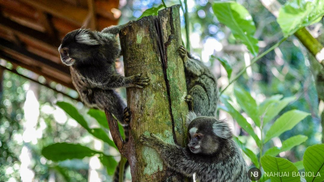 Monos ardilla durante el desayuno-Ilha Grande