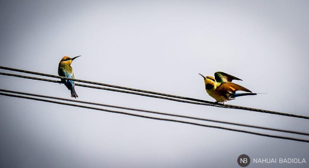 2 rainbow bee-eater birds_Magnetic Island