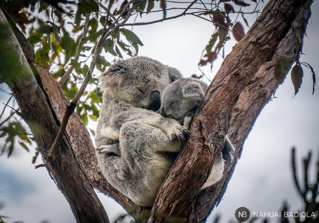 Baby koala_Magnetic Island