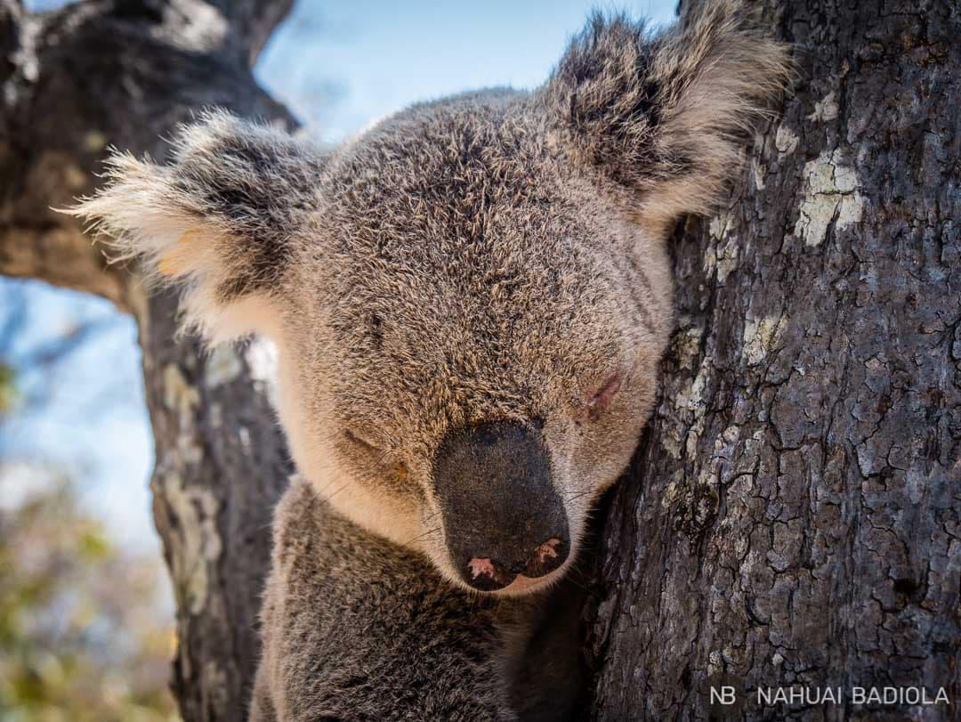 Close up koala_ Magnetic Island