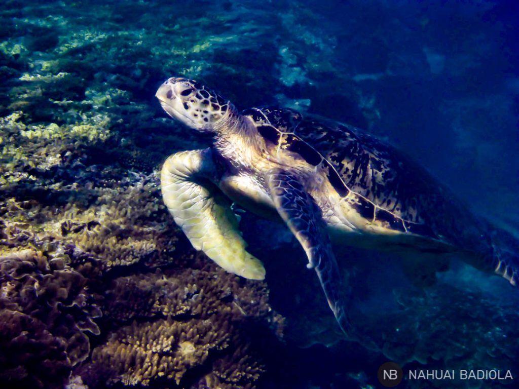 Green turtle - Lady Elliot Island