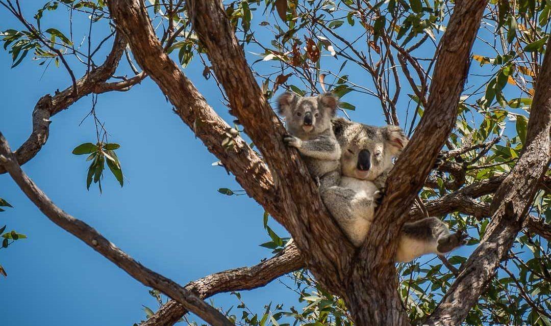 Koala family_Magnetic Island