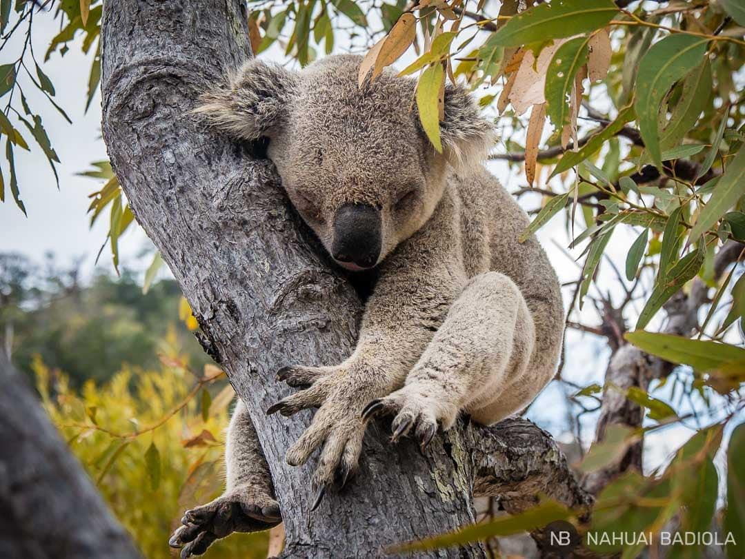 Koala_Magnetic Island