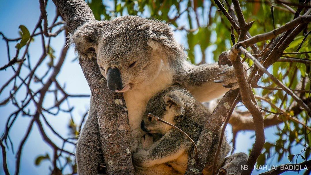 Mum and baby koala_Magnetic Island