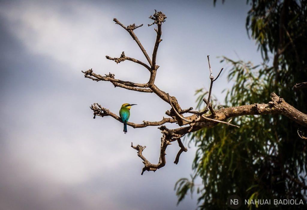 Rainbow bee-eater bird_Magnetic Island