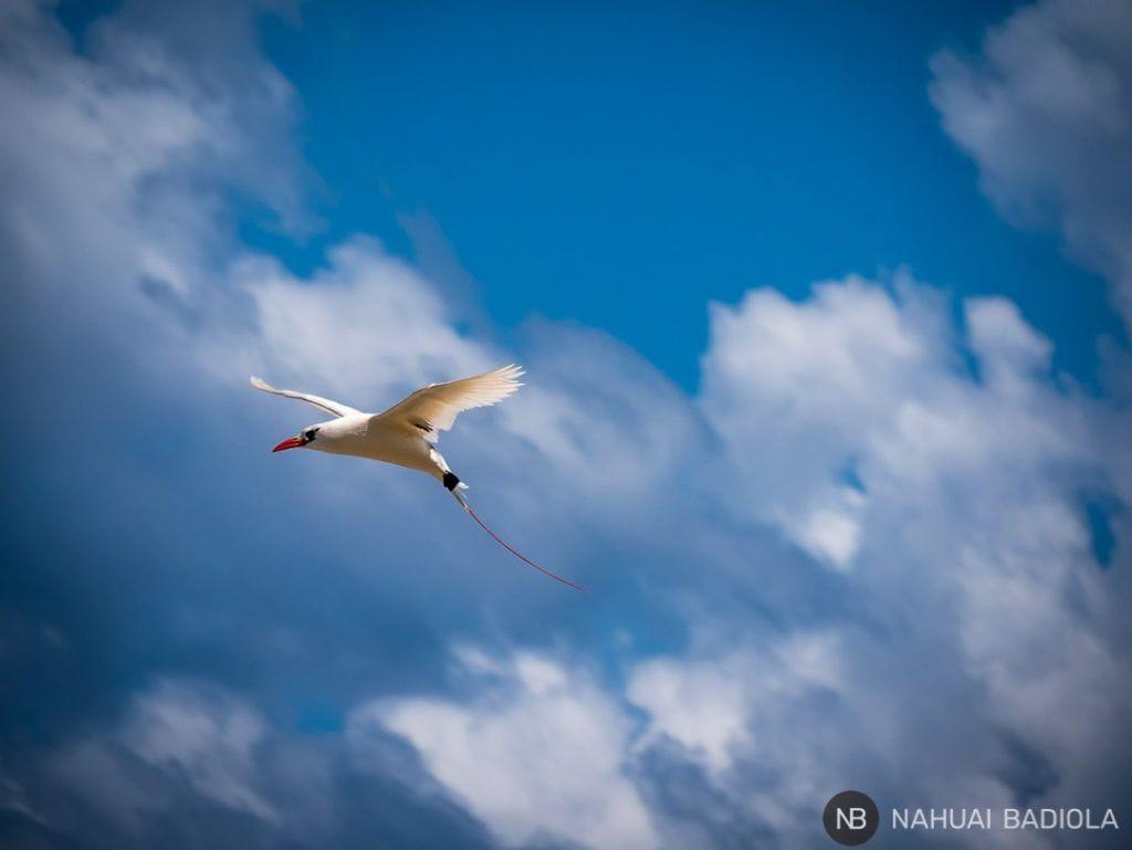 Red Tail Bird - Lady Elliot Island