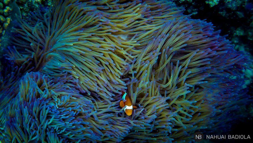 Nemo upolo reef