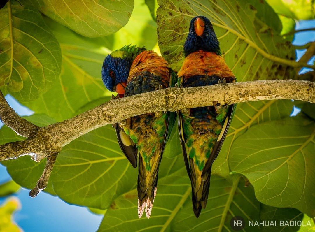 Parrots cairns