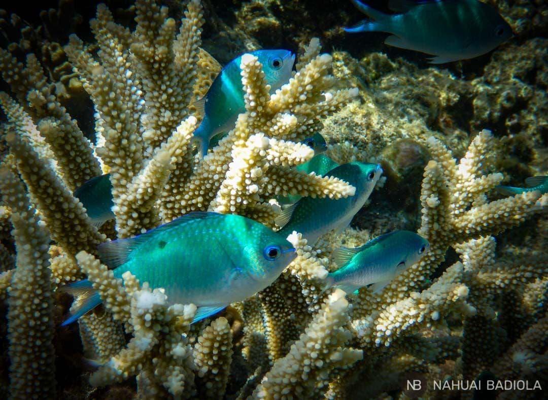 Staghorn Damsel Moore reef cairns