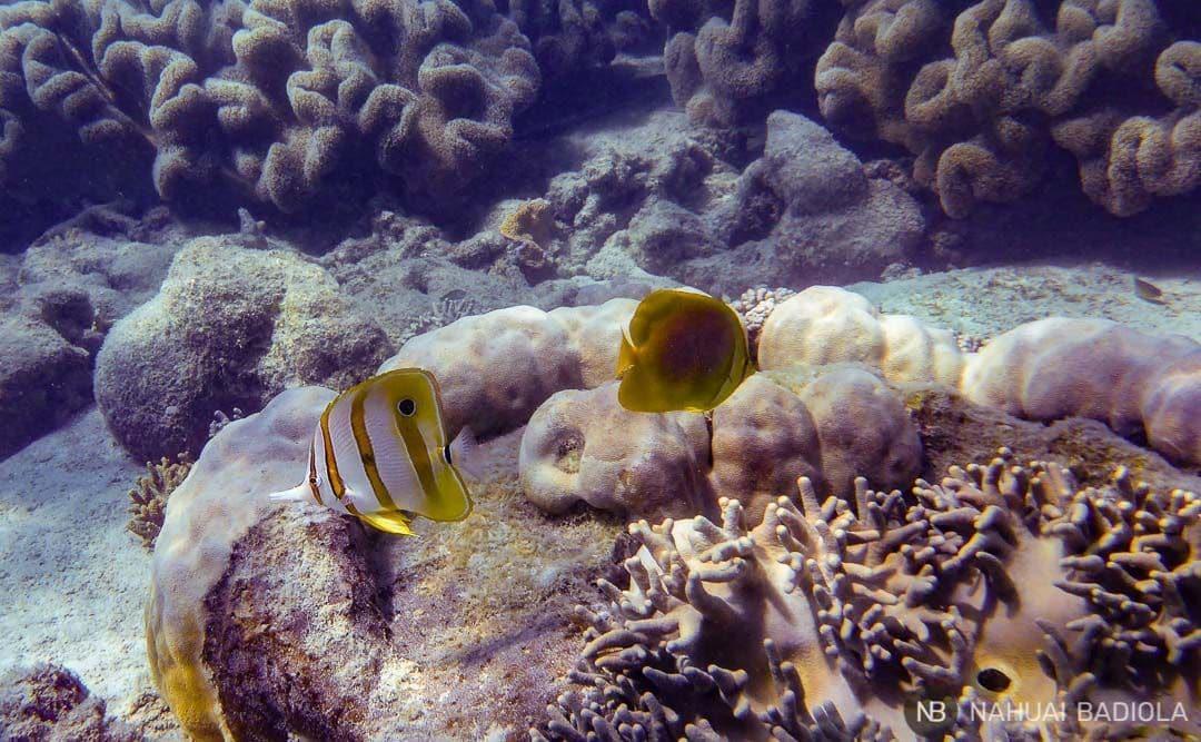 Beaked Coralfish and Butterflyfish at Mantaray Bay, Whitsundays