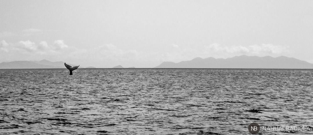 Humpback whale close to Hayman Island