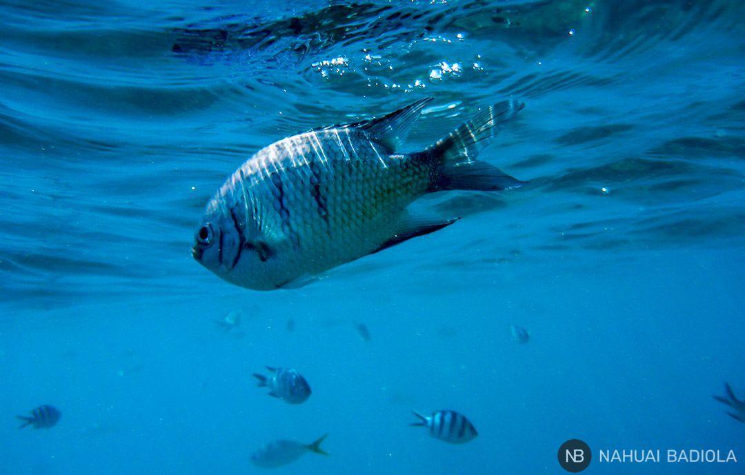 Pilot fishes at Mantaray Bay