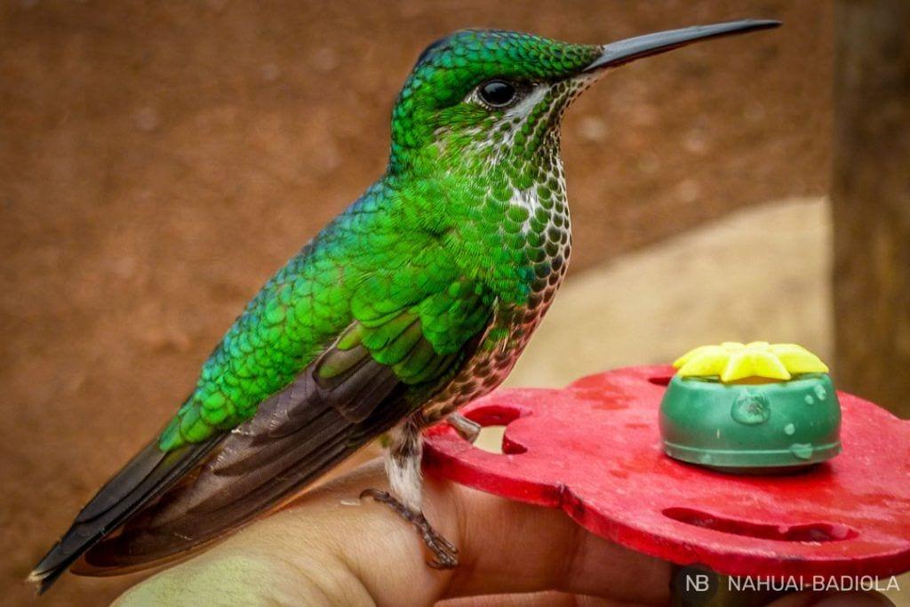 Colibrí en los jardines de las cataratas la Paz, Costa Rica-2