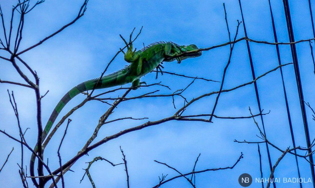 Iguana, Tortuguero, Costa Rica