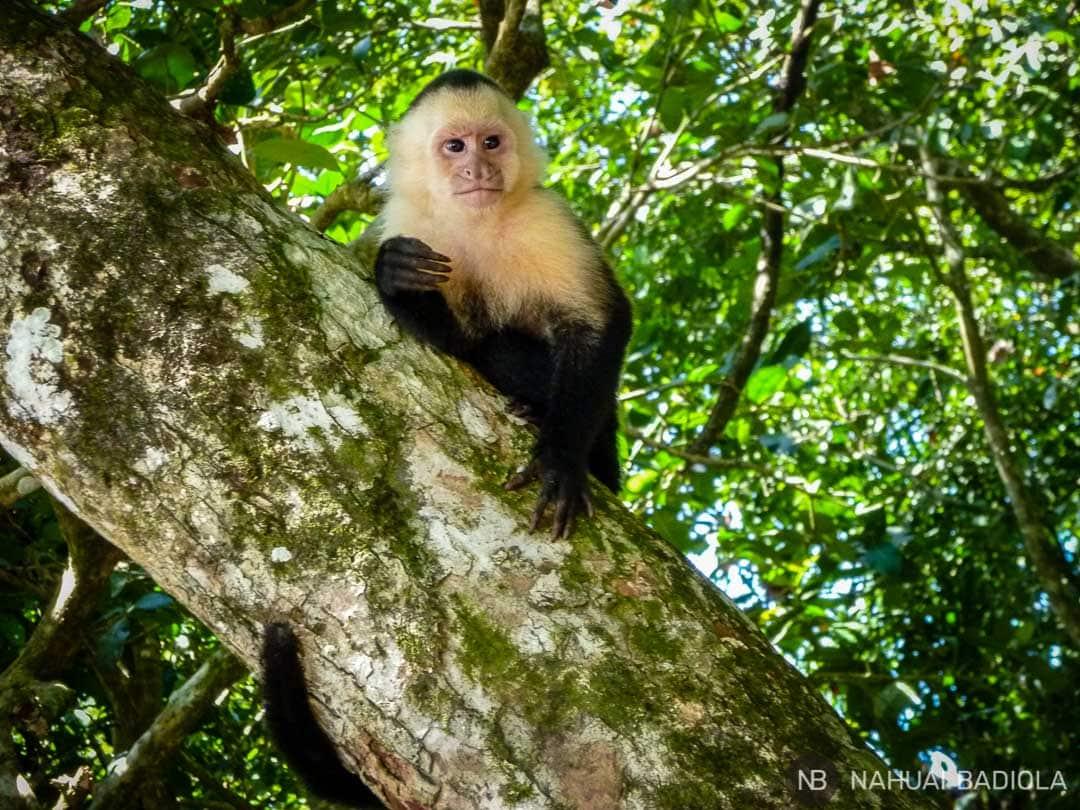 Mono capuchino, Manuel Antonio, Costa Rica