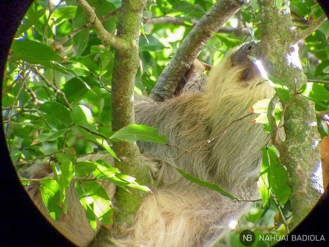Perezoso, Manuel Antonio, Costa Rica