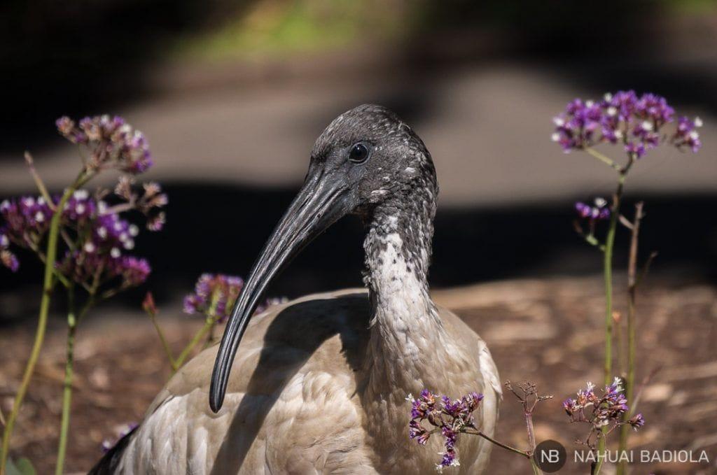 Este tipo de aves es comun en las areas verdes de Sidney
