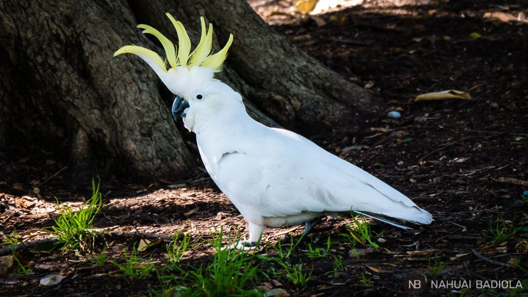 Una ruidosa cacatua en los jardines botanicos de Sidney