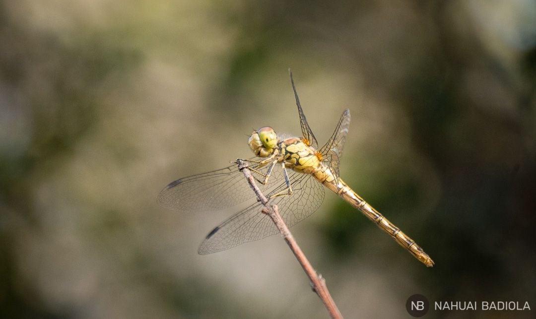 Retrato de una libélula que esperó con mucha paciencia a que la cámara la enfocara en condiciones. Parque de la Maremma, Toscana, 2017