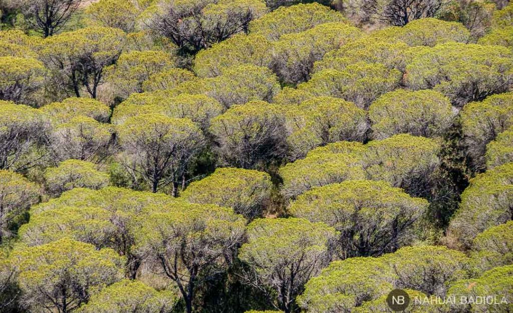 Detalle del inmenso pinar que conforma el parque regional de la Maremma, en la Toscana