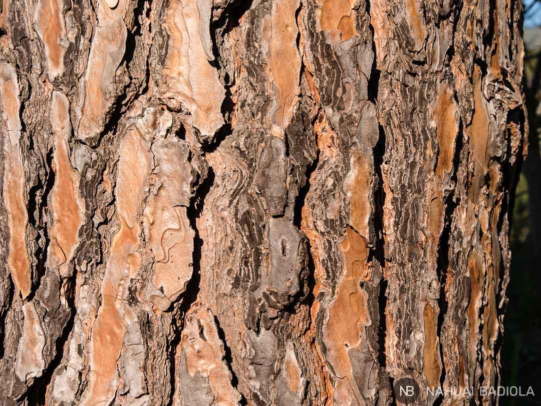 Detalle del tronco de uno de los miles de pinos que conforman el parque de la Maremma. Toscana.