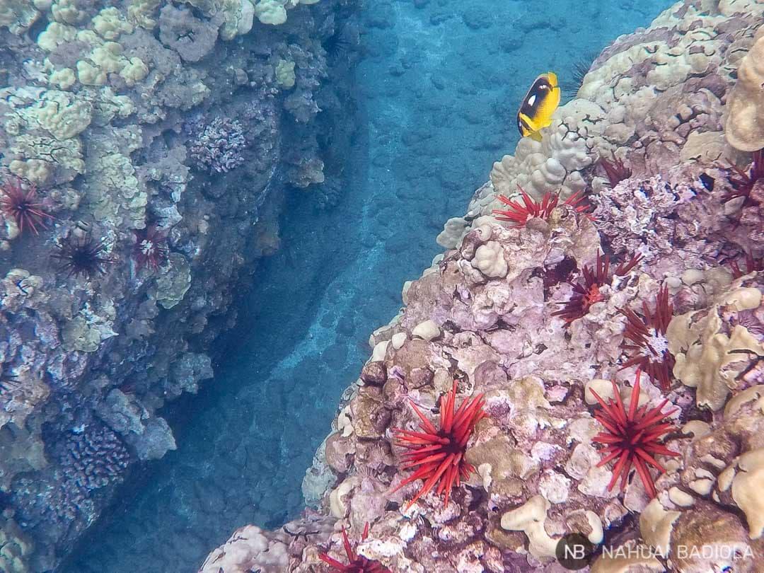 Arrecifes de coral y erizo que encuentras haciendo snorkeling al sur de Maui.