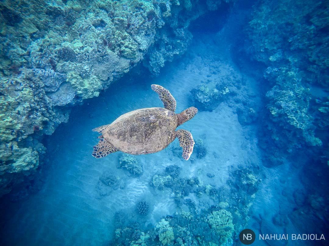 Nadando con tortugas verdes en Changs Beach, sur de Maui.
