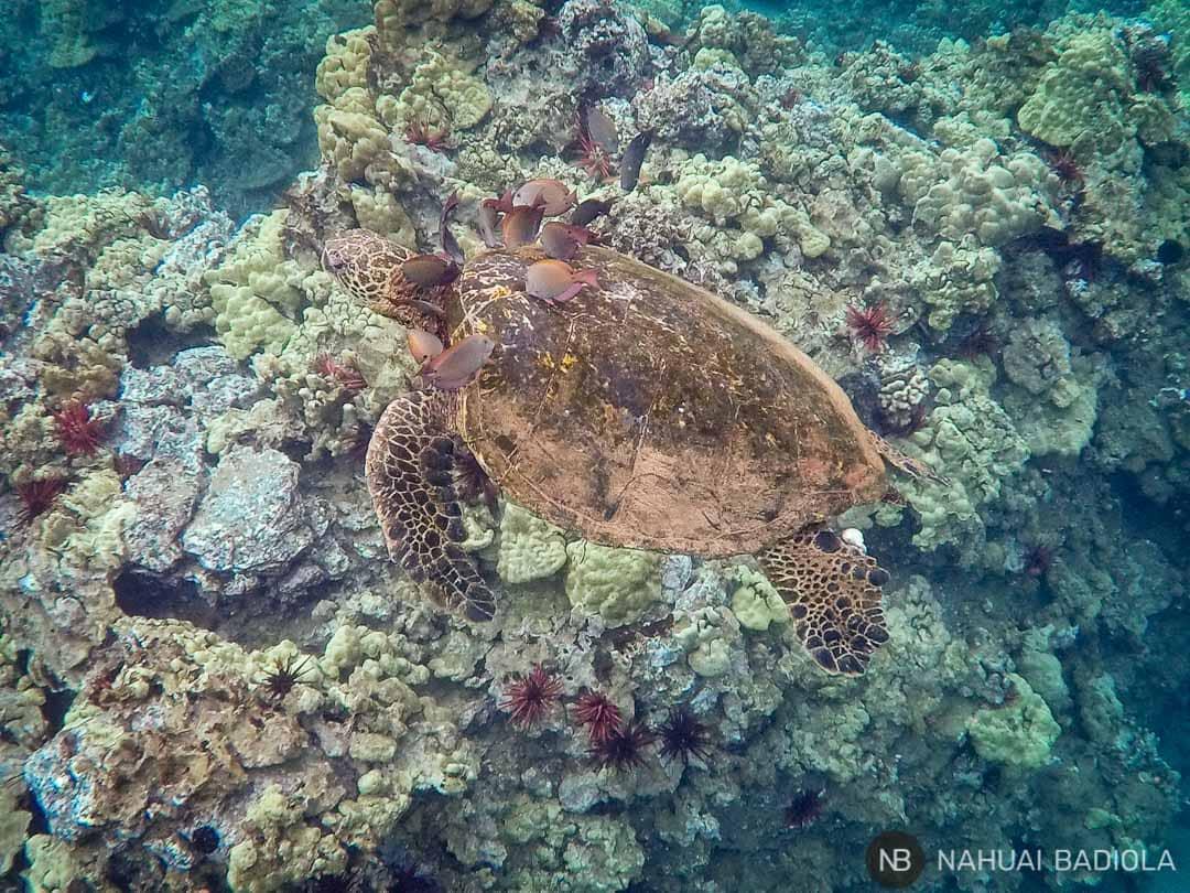 Tortuga verde recibiendo una sensión de limpieza en la zona de snorkeling de Poolanelane-Chang's Beach, al sur de Maui.