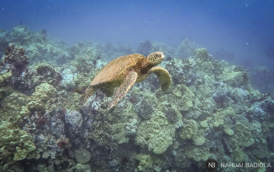 Tortugas verdes en la zona de snorkeling entre Poolenalena y Chang's Beach. Maui.