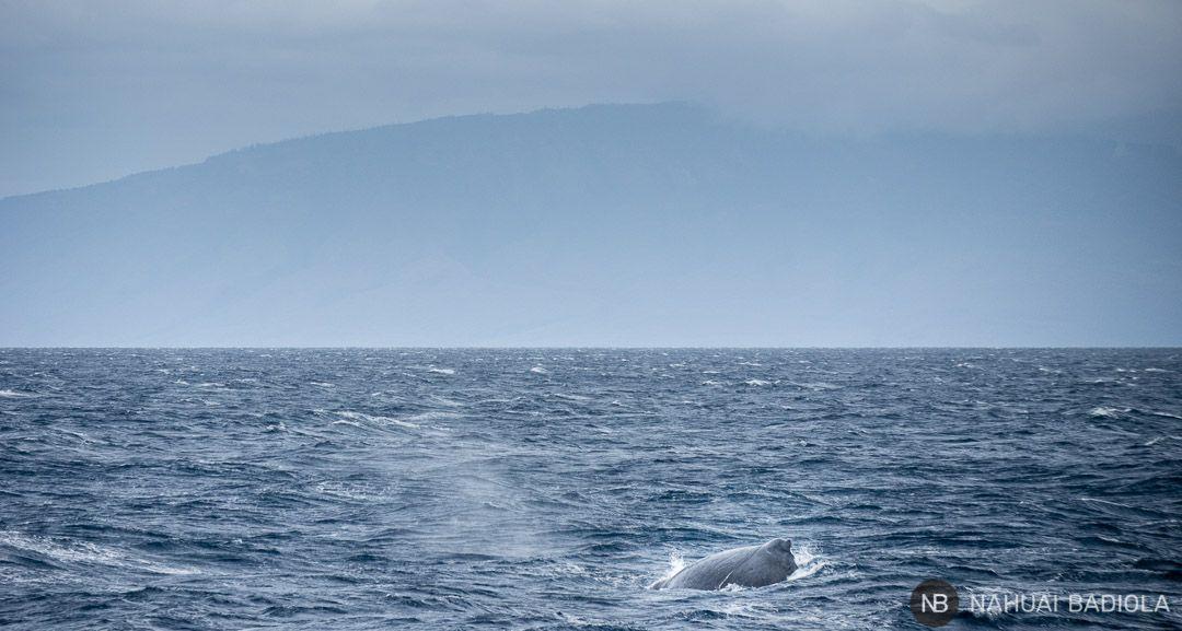 Ballena jorobada junto a las costas de Maui, Hawaii