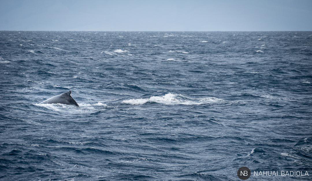 Avistamiento de ballenas jorobadas en Maui, Hawaii.