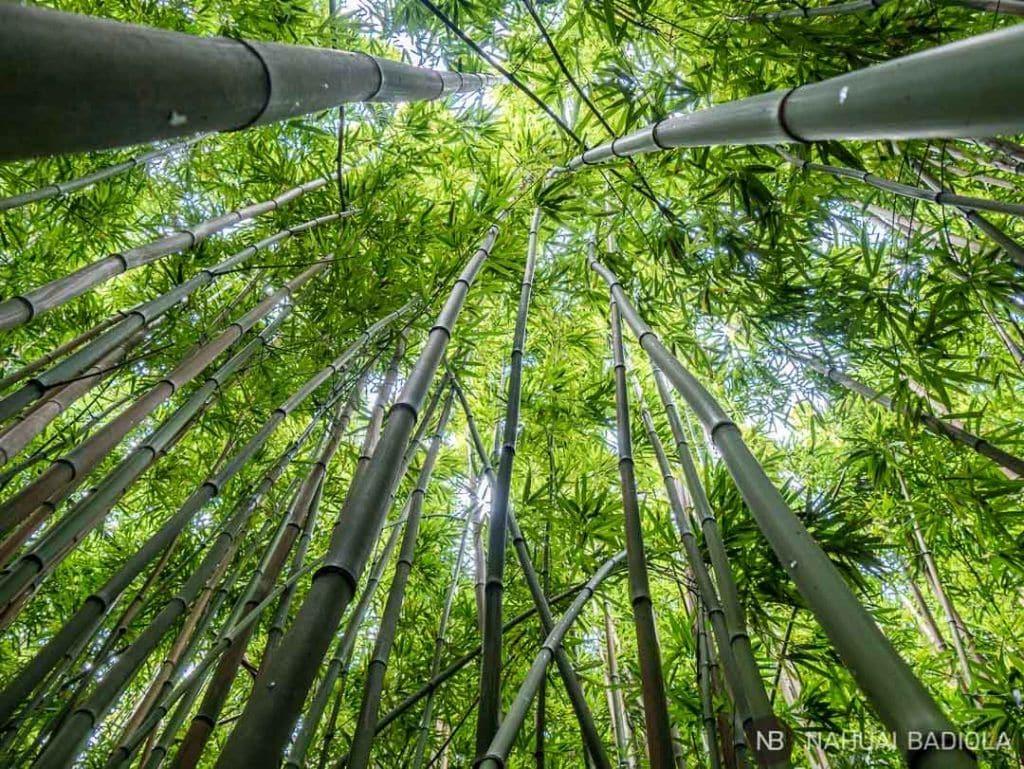 Entre las cañas del bambú de Pipiway Trail.