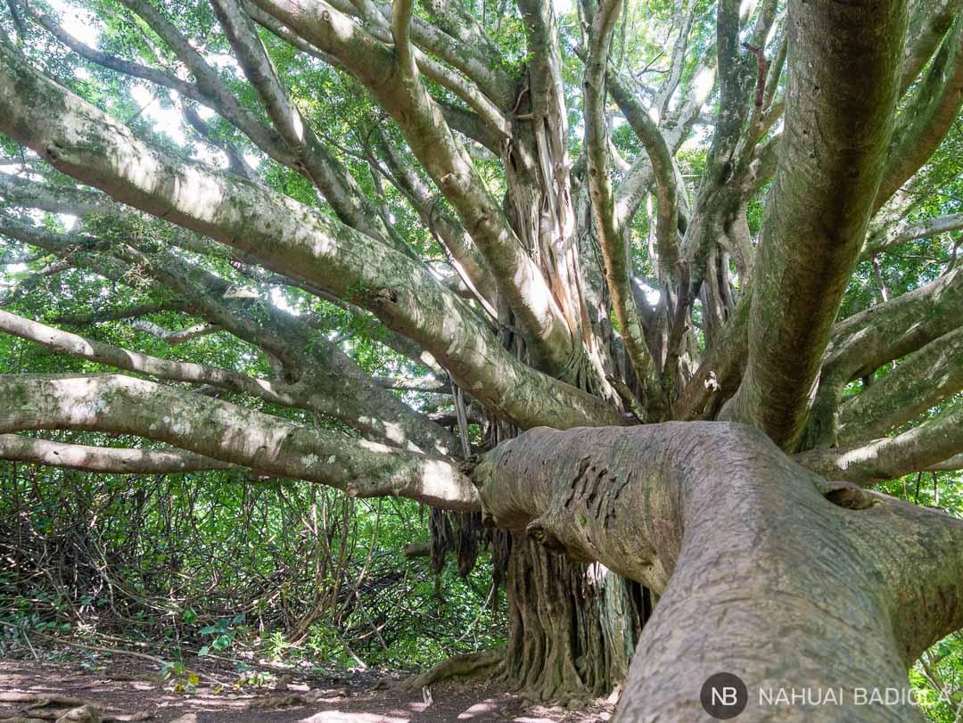 Árbol Bayano en el Pipiway Trail, Hana.