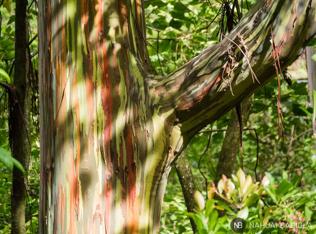 Árbol eucalipto arcoiris o Rainbow, junto a la carretera a lo largo del Road to Hana, Maui.