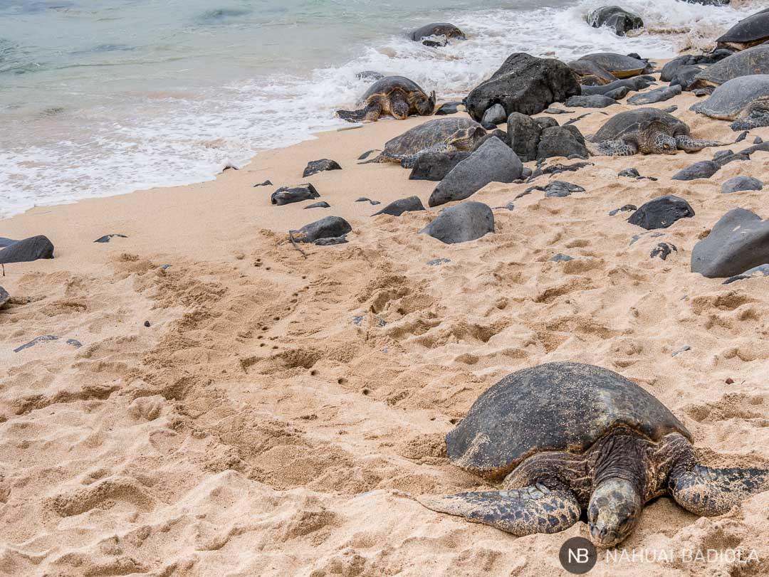 Rastro dejado en la arena por una tortuga al subir a la playa de Hookipa a descansar, al norte de Maui.