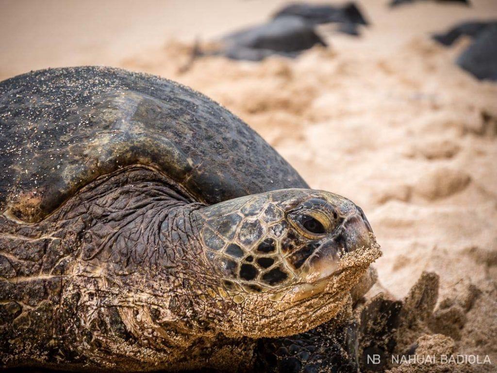 Tortuga despertándose de la siesta en la playa Hookipa, al inicio del Road to Hana.