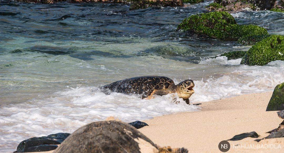 Tortuga marina saliendo del agua en la playa Hookipa, al inicio del Road to Hana, Maui.