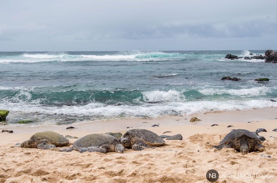 Tortugas descansando junto a la orilla en Hookipa Beach Park, Maui.