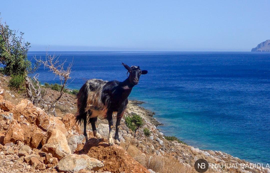 Una cabra de camino a Balos.