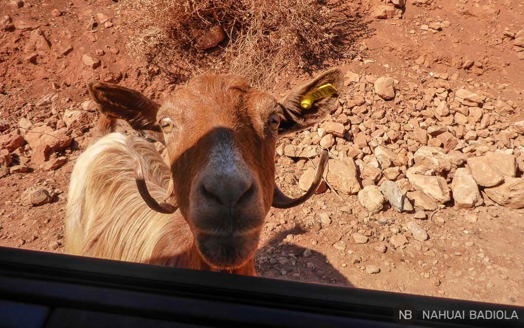 Una cabra pidiendo comida a través de la ventanilla del coche camino a Balos.