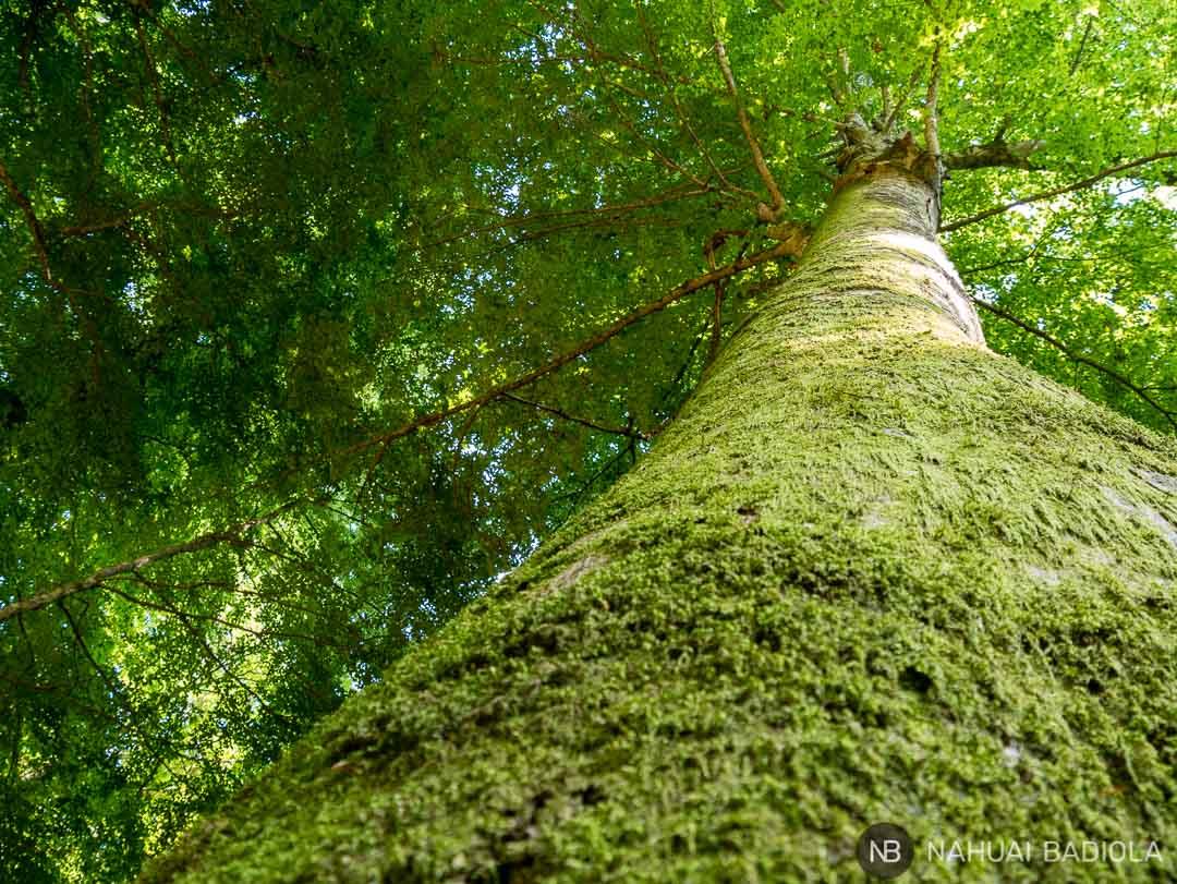 Un gigante verde en el corazón de la foresta umbra de Gargano, Italia.
