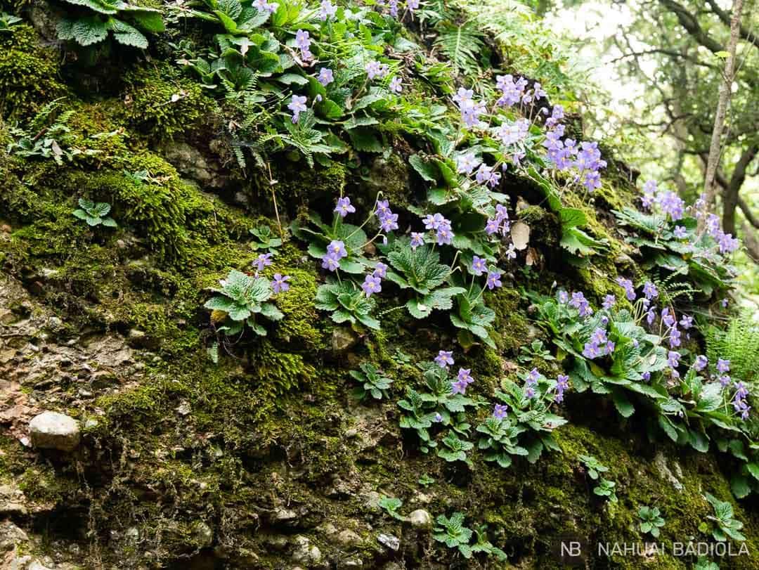 Violetas a la sombra de los árboles en el camino de vuelta al Monasterio de Montserrat