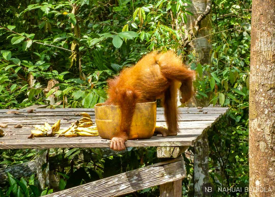 Bebé orangután bebiendo leche durante el feeding en Tangjung Puting, Borneo.