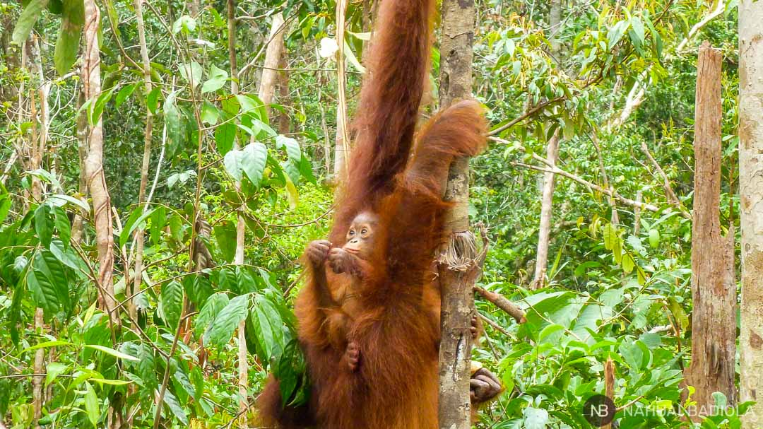 Mamá y bebé orangután en Tangjung Puting, Indonesia.