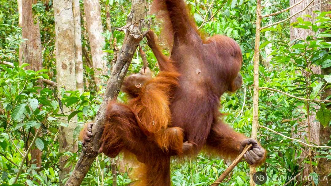 Bebé orangután jugando con una rama a lomos de su madre en Tangjung Puting, Indonesia.