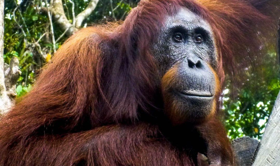 Retrato de cerca de un orangután adulto en Borneo, Indonesia.