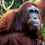 4 días de viaje en klotok por Borneo: encuentro con orangutanes en libertad