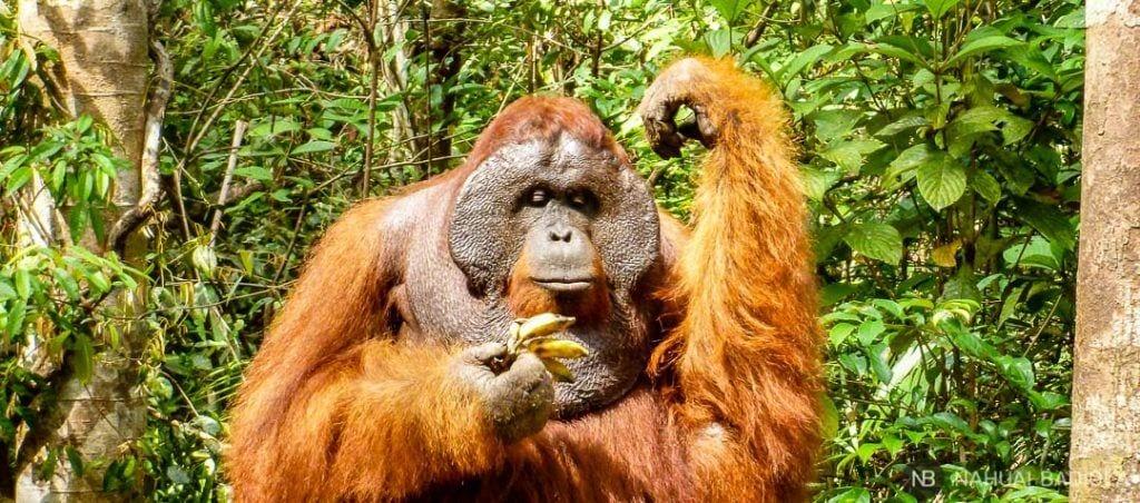 Macho alfa decidiendo qué plátano comerse primero en TangJung Puting, Borneo.