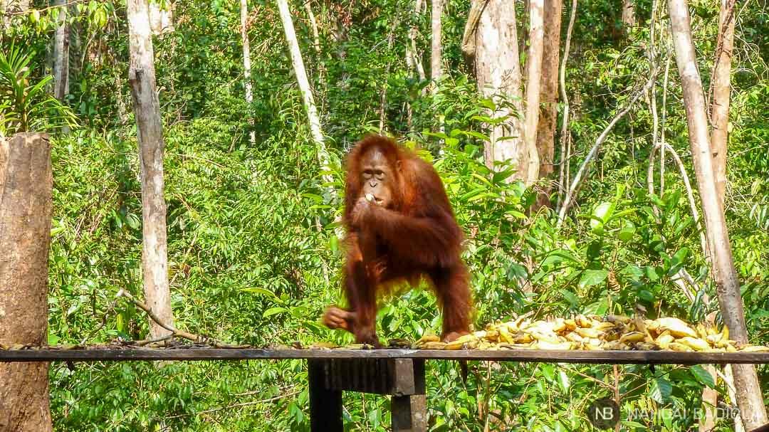 Orangután en la plataforma de feeding en Camp Leakey, Borneo, Indonesia.