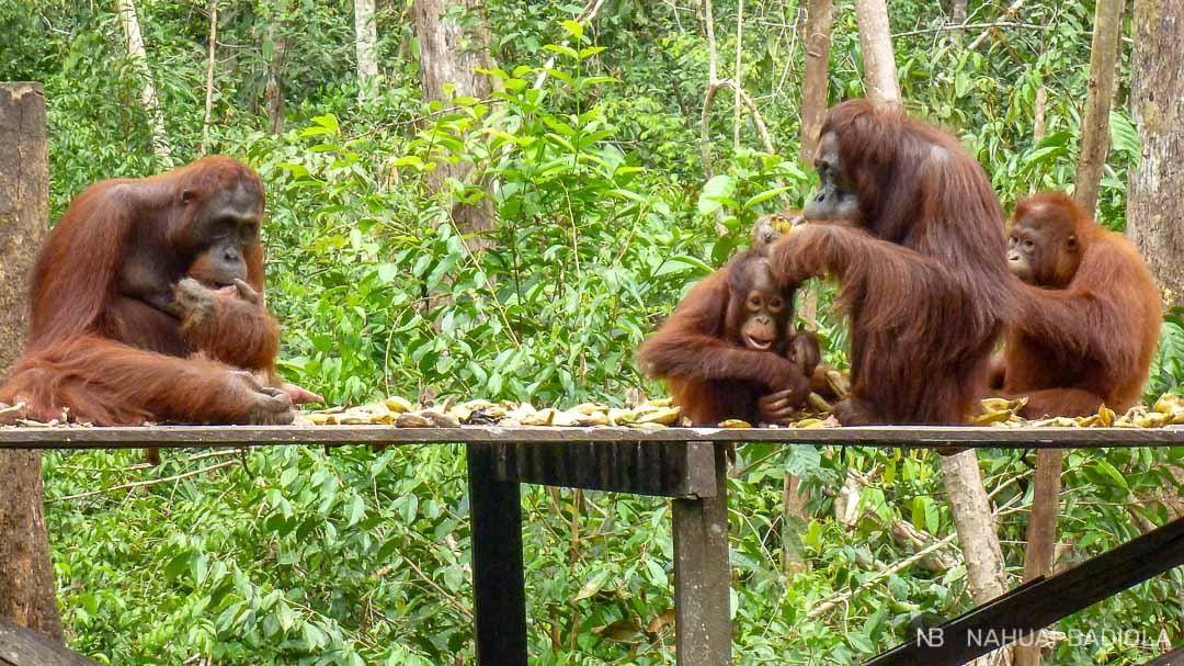 Orangutanes hembras con sus crías en la plataforma de camp Leakey a la hora del feeding.